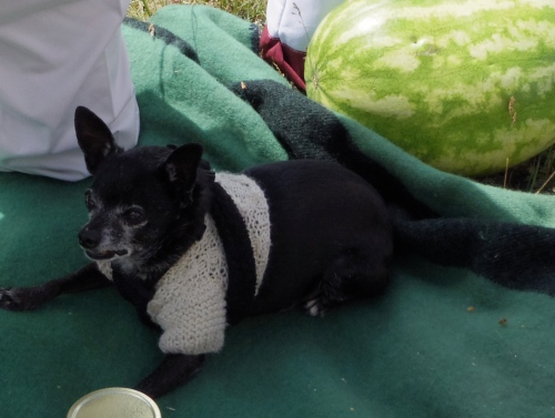 An elderly chihuahua in a sweater who sat on a pew during the service.
