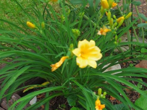 yellowfleur