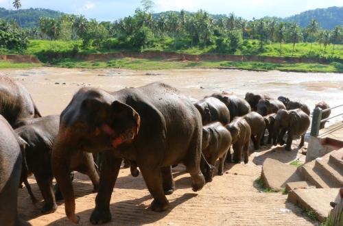 Elephants at Pinnawala Elephant Orphanage in Sri Lanka, on April 16, 2015. (Getty Image)