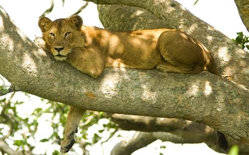 Tree_lion