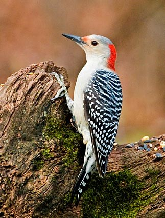 red_bellied_woodpecker_11.jpg